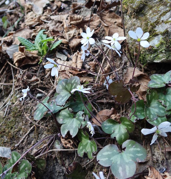 Hépatiques en fleurs, sur le chemin d'Ossona