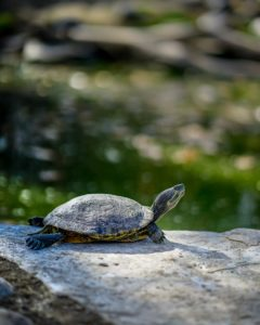 gray and brown turtle on rock