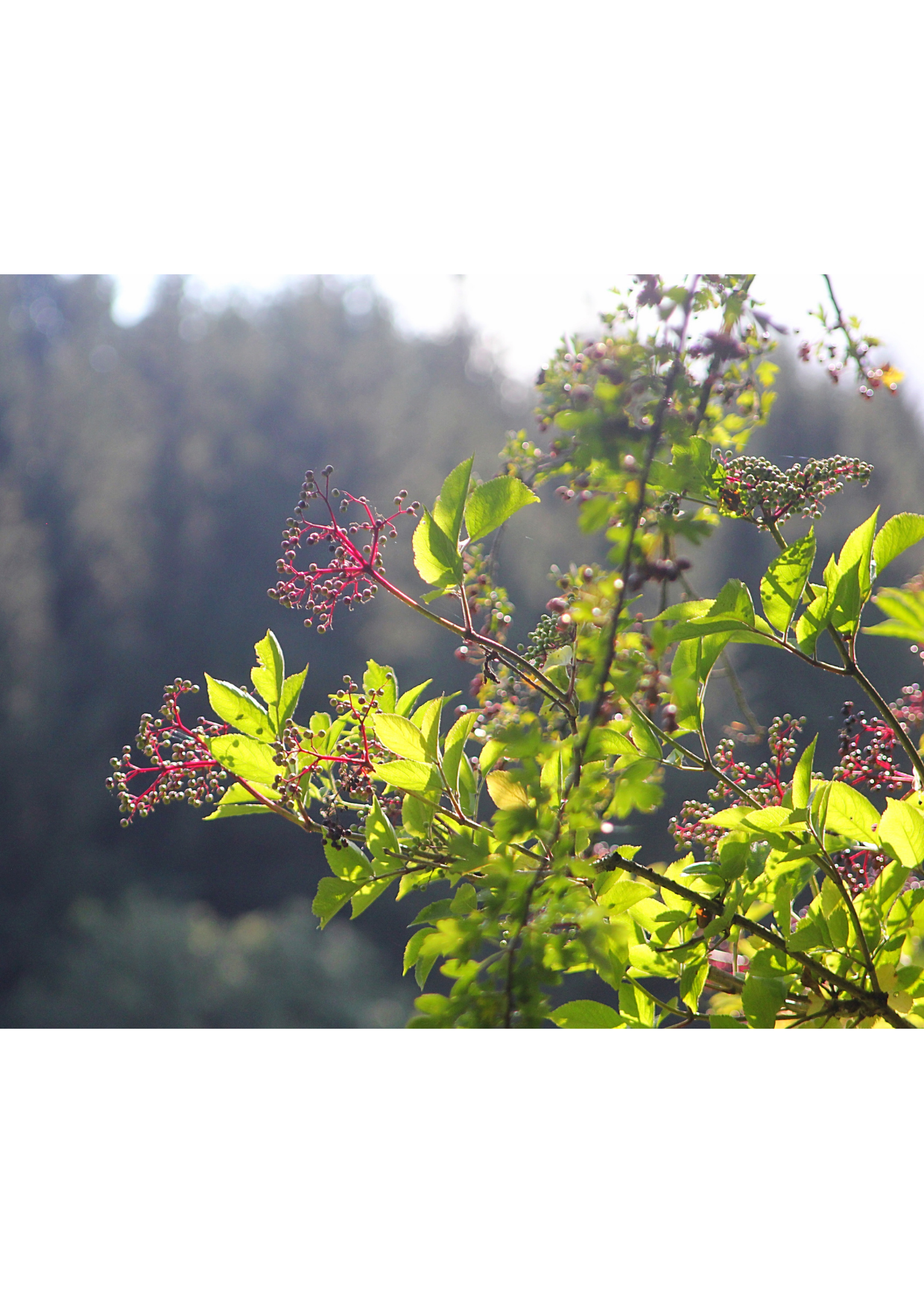 Sureau noir automne